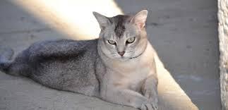 Burmilla kedisi