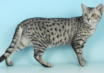 Egyptian Maular kedisi