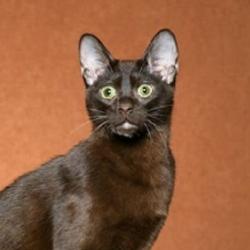 Havana kedileri