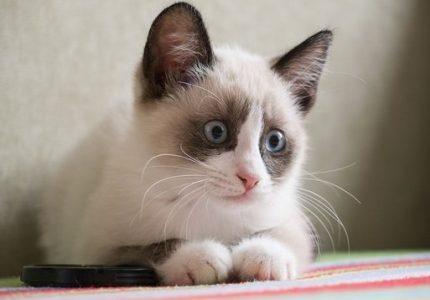Karayak kedileri