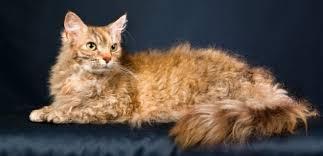 Laperm kedisi