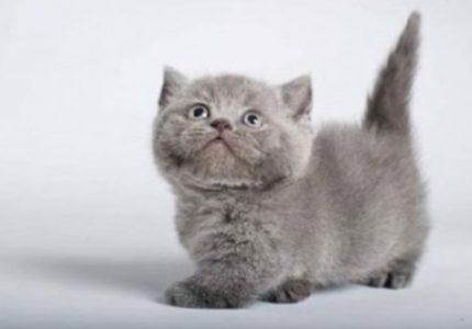 Munchkin kedisi