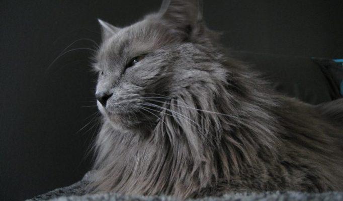 Nebelung kedisi