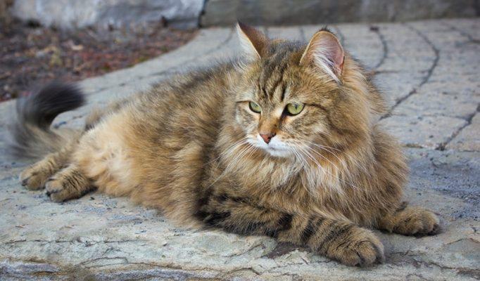 Sibirya kedisi3