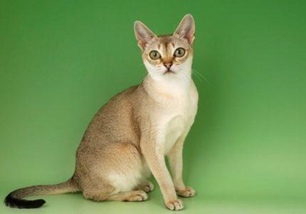 Singapur kedileri