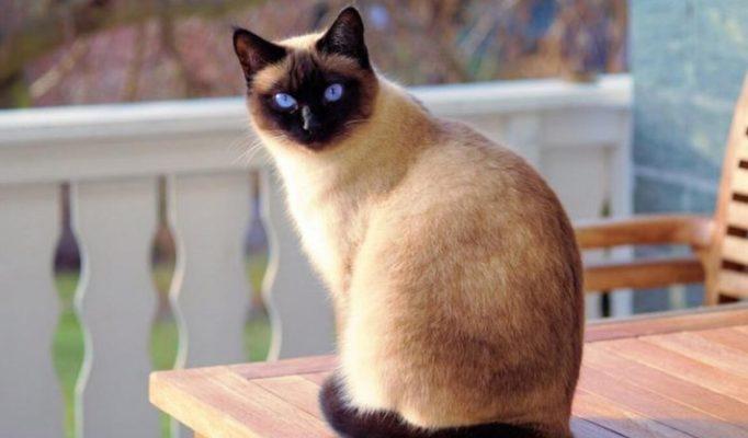 Siyam kedisi11
