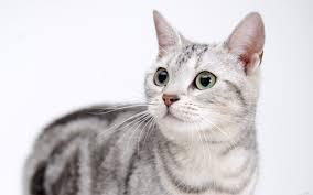 Soke kedisi