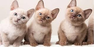 Tonkinese kedi cinsi