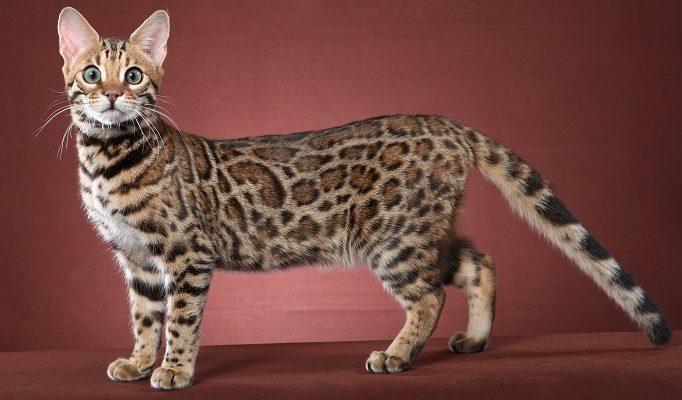 Toygar cinsi kediler