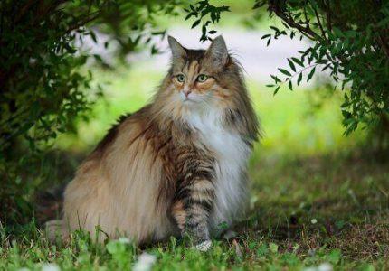 norveç-orman-kedisi